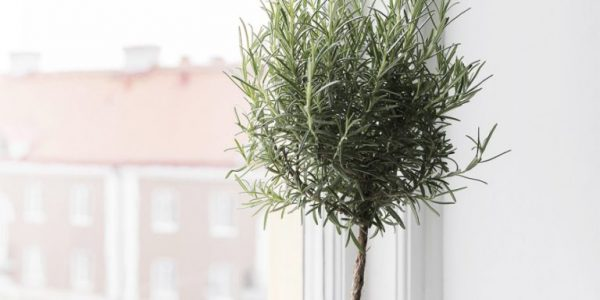 Planta decorativa pe pervaz