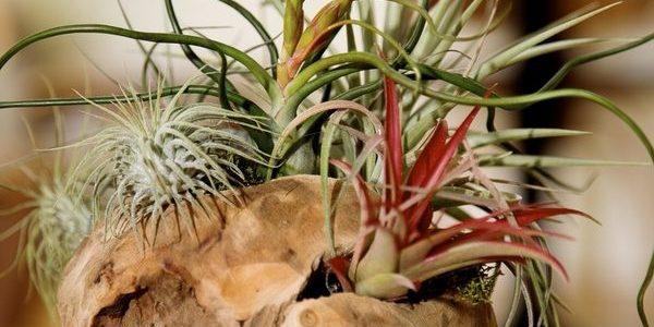 Plante aerofite multicolore in suport de lemn
