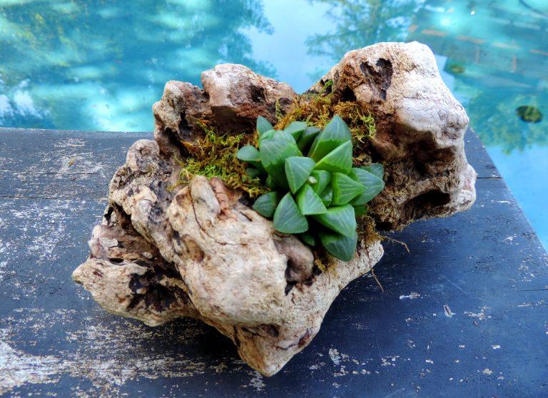 Plante suculente verzi in suport de lemn