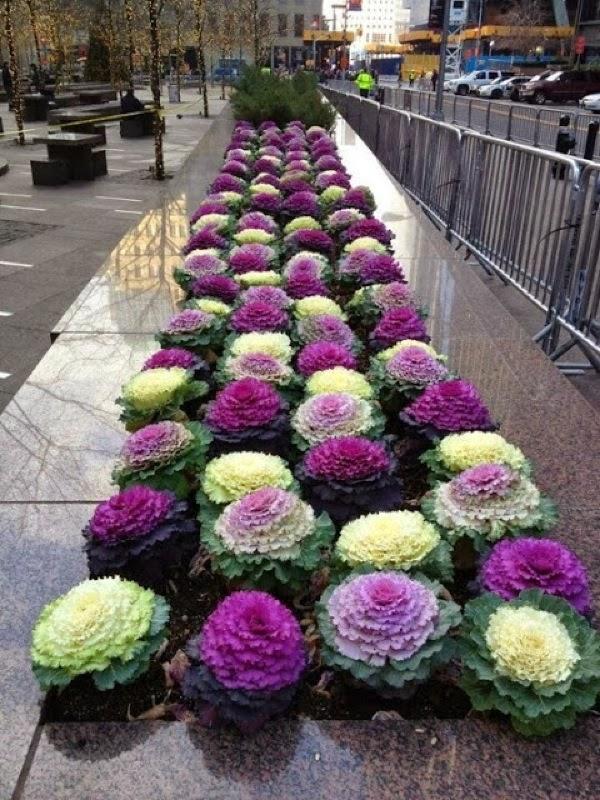 Varza ornamentala de diferite culori
