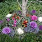 Varza ornamentala multicolora