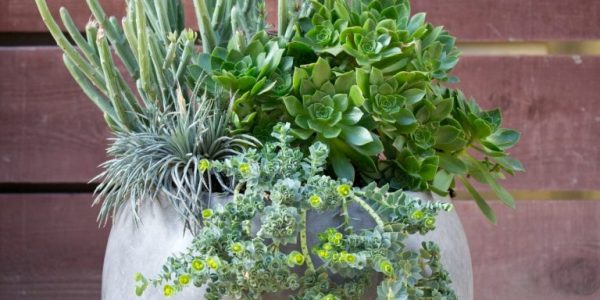 Vas gradina plante suculente