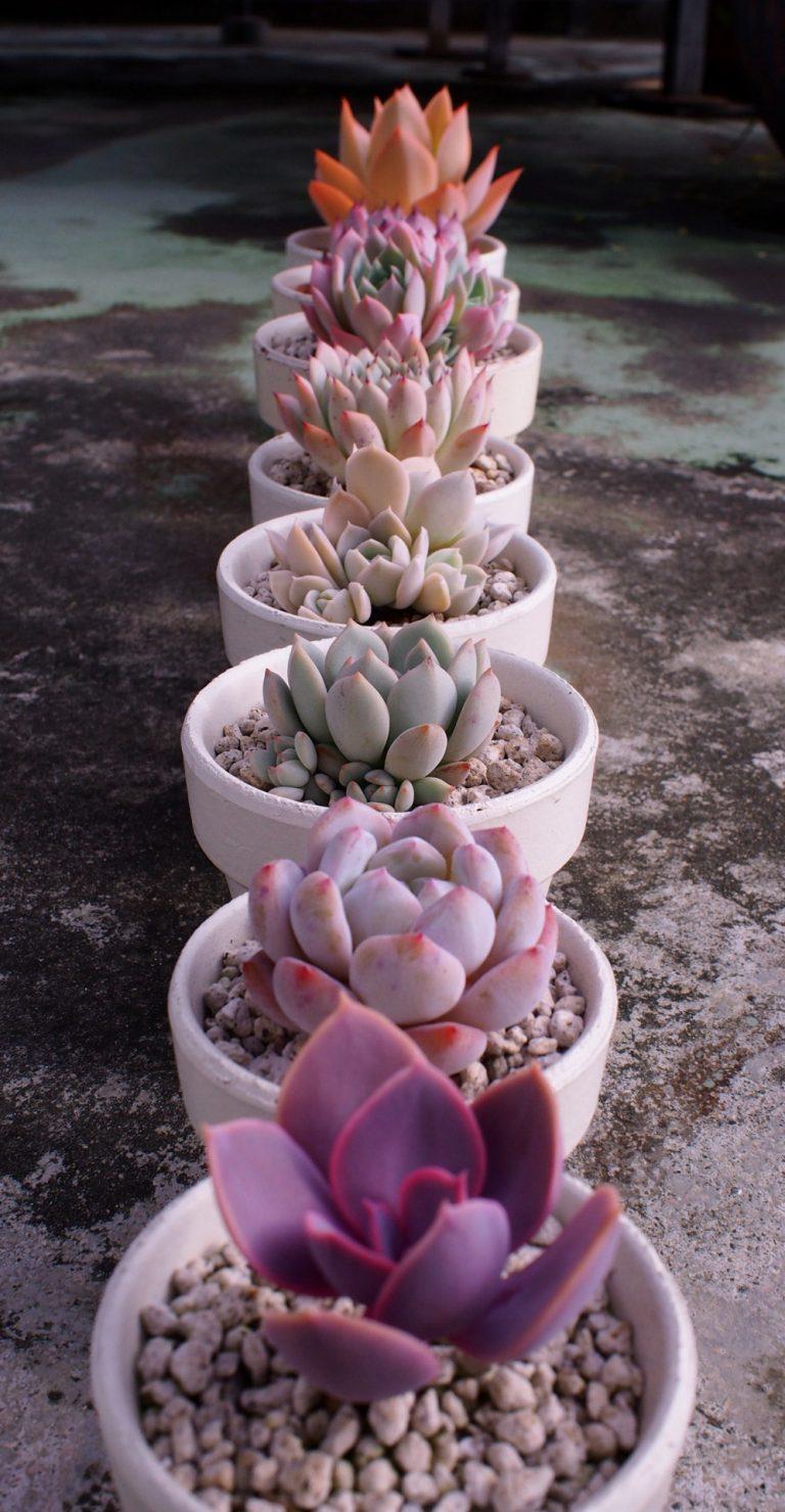 Vase cu plante suculente roz