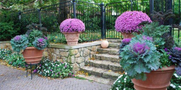 Vase cu varza ornamentala