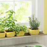 Plante aromatice crescute pe pervaz