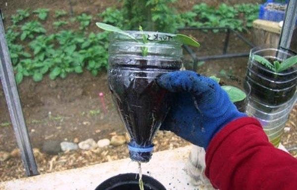 Rasad castravete in sticla de plastic